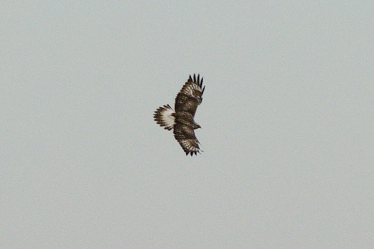 Rough-legged Buzzard by Dave Curtis