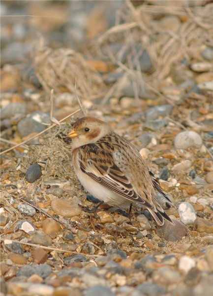 Snow Bunting by Julian Bhalerao