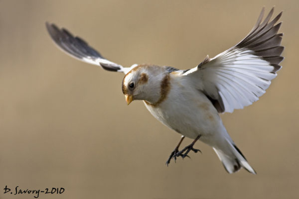 Snow Bunting by David Savory www.fenland-photography.co.uk