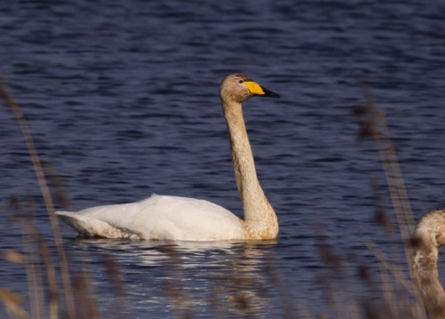 Whooper Swan by Will Soar