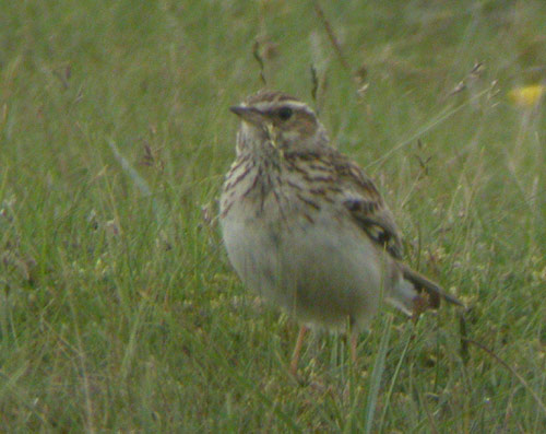 Woodlark by Will Soar