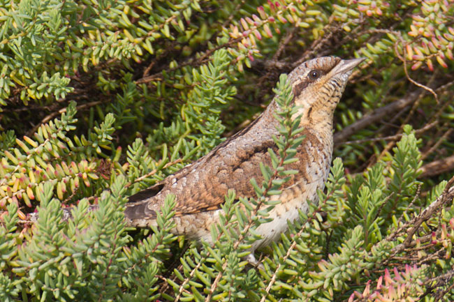 Wryneck by Steve Gantlett www.birdingworld.co.uk / www.sgbirdandwildlifephotos.co.uk