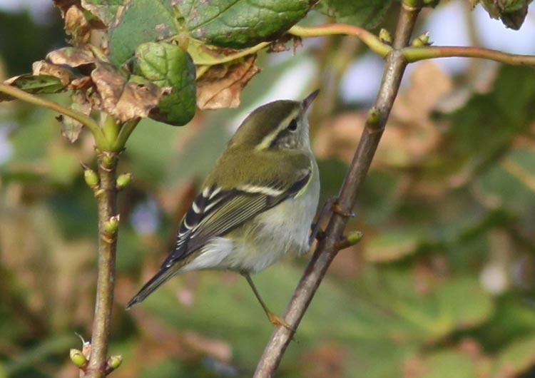 Yellow-browed Warbler by Will Soar