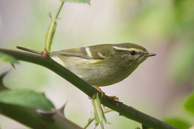 Yellow-browed Warbler by Steve Gantlett www.birdingworld.co.uk / www.sgbirdandwildlifephotos.co.uk