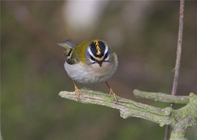Firecrest by Dave Mansell