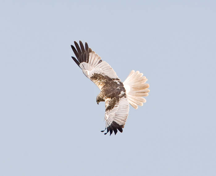 Marsh Harrier by John Miller www.kellingnaturegallery.fotopic.net