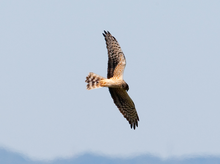 Montagu's Harrier by John Miller www.kellingnaturegallery.fotopic.net