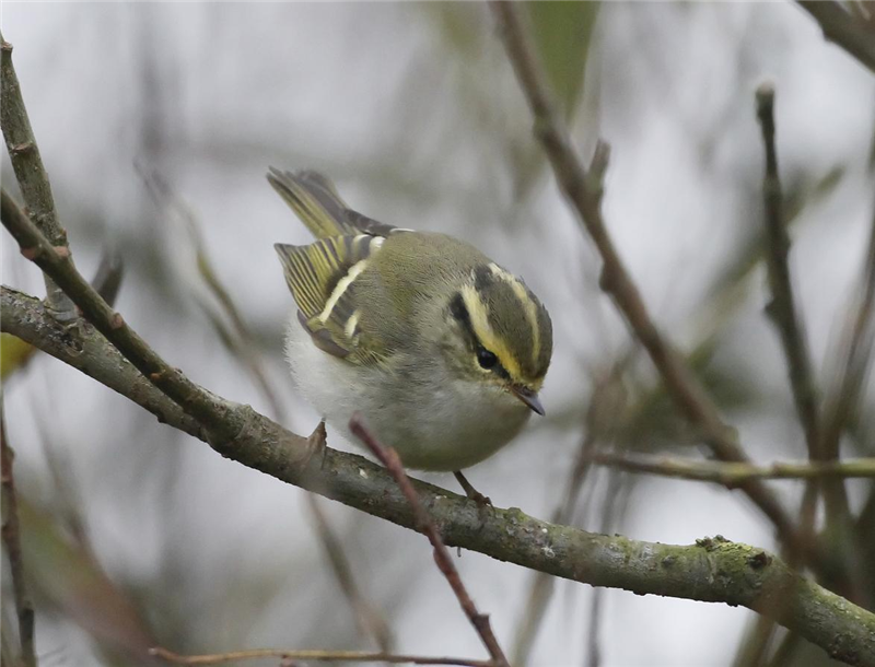 Pallas's Warbler by Dave Mansell
