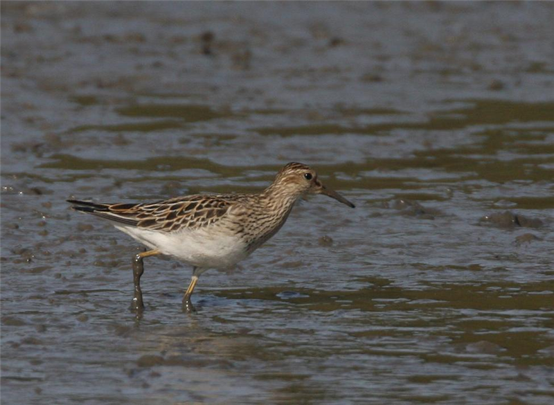 Pectoral Sandpiper by Dave Mansell