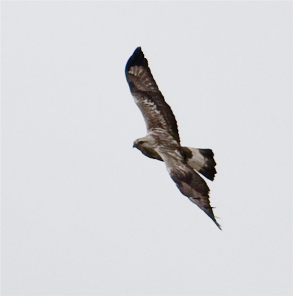 Rough-legged Buzzard by John Miller www.kellingnaturegallery.fotopic.net
