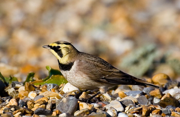 Shorelark by John Miller www.kellingnaturegallery.fotopic.net