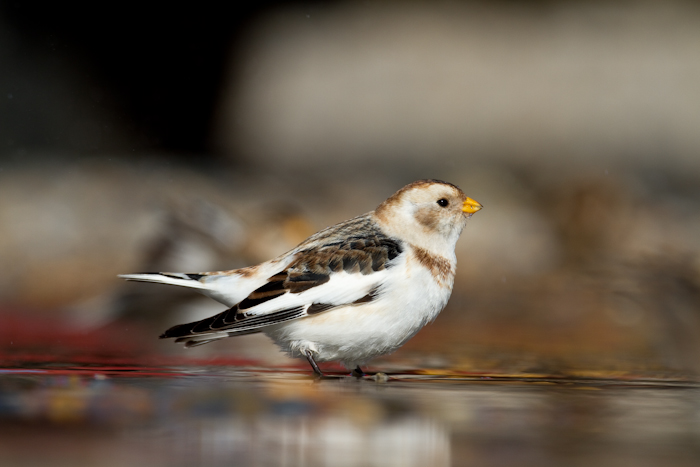 Snow Bunting by John Miller www.kellingnaturegallery.fotopic.net